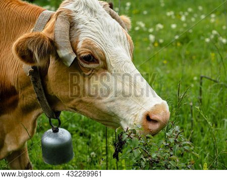 Close-up Of The Cow's Head. On The Neck Hangs A Bell. The Ends Of The Horns Are Cut Off. The Animal