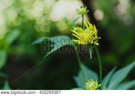 Yellow Bud Of Rudbeckia Laciniata Hortensia. High Quality Photo