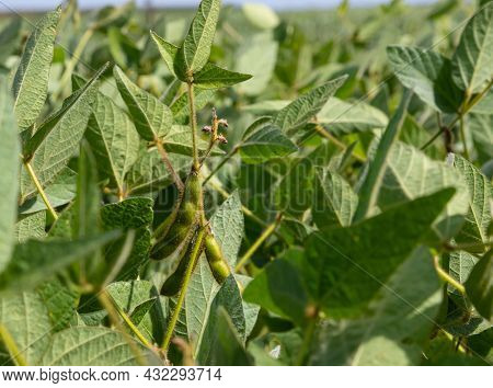 Soybean Pods On Soybean Plantation, On Blue Sky Background, Close Up. Soy Plant