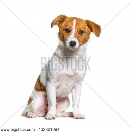 Puppy border Jack, Young Mixed breed dog between a border collie and a jack russel