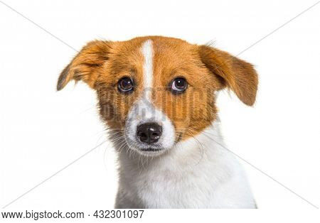 Head shot of puppy Border Jack, Young Mixed breed dog between a border collie and a jack russel