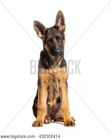 Portrait of young German shepherd dog black and tan sitting, isolated on white