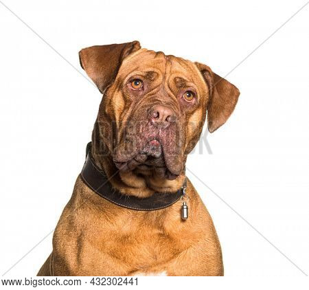 Head shot of dogue de Bordeaux wearing a collar ID, isolated on white