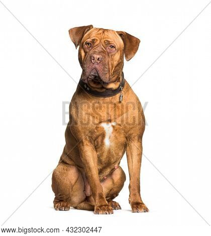 Dogue de Bordeaux sitting wearing a collar ID, isolated on white