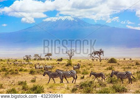 Large herd of zebras graze in the African savannah at the foot of Kilimanjaro. Southeast Kenya, the Amboseli park. Trip to the Horn of Africa
