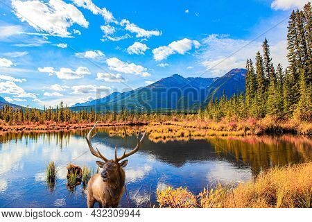 Gorgeous red deer with branched antlers grazes in the meadow. Canada. Indian summer in the Rocky Mountains. Yellow autumn grass on the shores of mountain lake Vermillon.