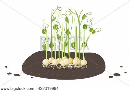 Fresh Green Peas. Cultivation Of Microgreen Peas, Young Sprout, Pea Seeds In The Ground, Plant Roots