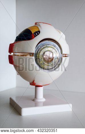 Human Eye Anatomical Model On The Shelf Close Up