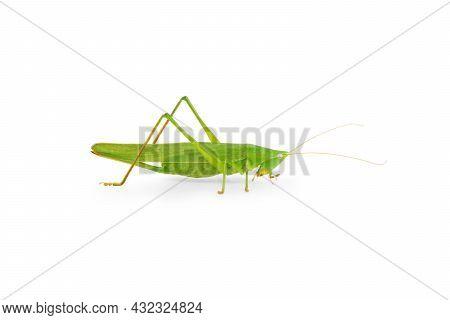 Citrus Locust Cotton Locust  On White Background