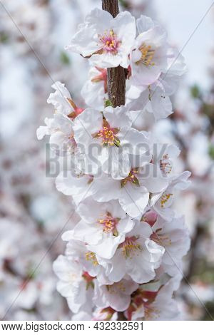 A Blooming Spring Garden. Blooming Cherry (latin: Prunus Tomentosa) Close Up. Vertical Photo.