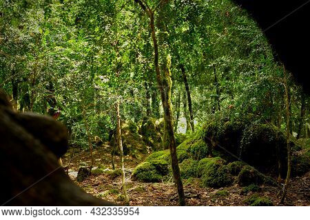 Boxwood Grove. A Rare Tree In Abkhazia. Mosses And Stones.