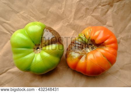 The Fruits Of Red And Green Tomatoes That Have Become Ill With Phytophthora Infestans. The Concept O