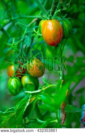 Small Speckled Green Tomatoes Grow On A Bush