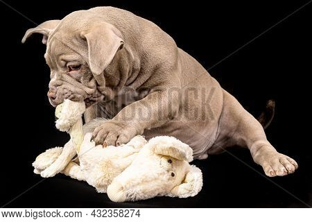 A Liliac American Bully Puppy With Uncut Ears Is Playing With A Soft Toy.