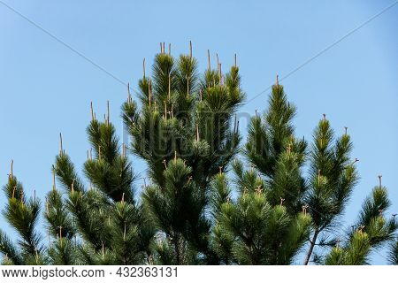 Canopy Of A Pine Tree With Highlights On Its Tips And The Blue Sky In The Background