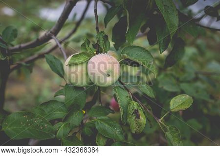 Beautiful View Of The Apple Tree In The Morning After The Rain. Raindrops On An Apple. A Toned Photo