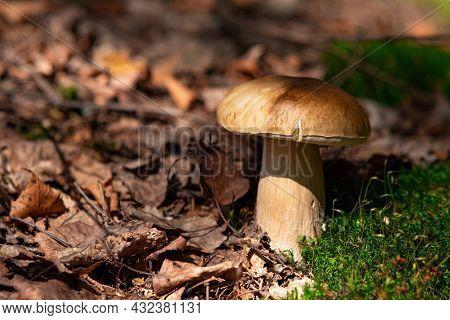 Edible Porcino Mushroom Grows Among Moss And Fallen Leaves