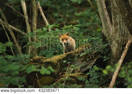Young Cute Fox Ventures Out Of The Forest To Curiously Explore The Surroundings