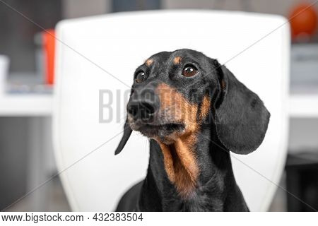 Portrait Of Smart Dachshund Dog Who Attentively Listens To The Commands Of Owner Or Handler, Watches
