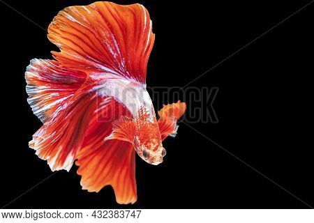 Movement Power Of Betta Fighting Fish Over Isolated Black Background. The Moving Moment Beautiful Of