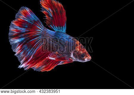 Rhythmic Of Betta Fighting Fish Over Isolated Black Background. The Moving Moment Beautiful Of White