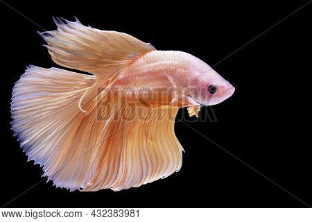 Rhythmic Of Betta Splendens Fighting Fish Over Isolated Black Background. The Moving Moment Beautifu