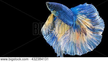 Rhythmic Of Betta Fighting Fish Over Isolated Black Background. The Moving Moment Beautiful Of Blue