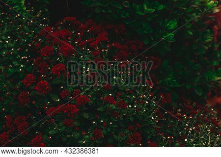 Dark Moody Floral Background Of Red Chrysanthemums. Dark Moody Autumn