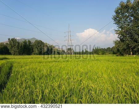Beautiful Scenery Of A Rice Fields In Swat Valley