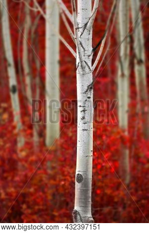 Aspen trees in fall with autumn colors lush forest birch red maples