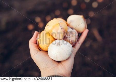 Allium Bulbs Fall Planting. Woman Gardener Holding Handfull Of Bulbs Ready To Put In Soil. Autumn Ga