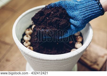Gardener Planting Muscari Bulbs In Pot At Home Adding Soil In Container. Autumn Gardening Work. Grow