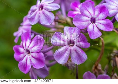Small Flowers With Five Purple Petals On A Green Blurry Background.