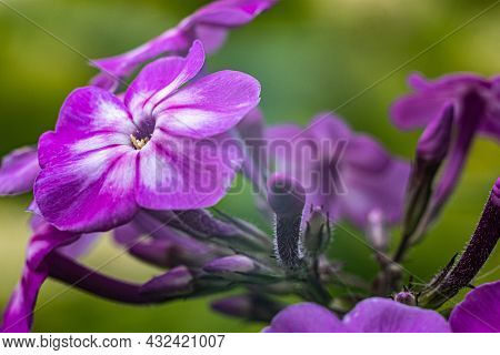 A Small Flower With Five Purple Petals On A Green Blurry Background.