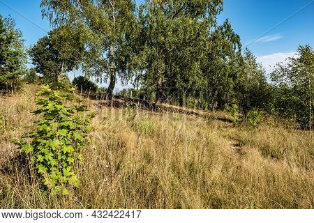 A Gentle Slope With Dry Yellow Grass And Old Big Birches On A Sunny Summer Day.