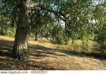 Thick Trunks Of Old Birch Trees On A Gentle Slope Strewn With Yellow Leaves.
