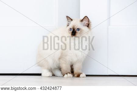 Lovely fluffy white ragdoll cat looks out from behind the wall in light room. Beautiful purebred feline pet with blue eyes and black nose peeps out