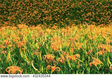 Beautiful Scenery Of Daylily(hemerocallis Fulva,orange Daylily) Flowers And Buds,view Of Orange Dayl