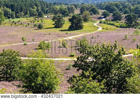 Heather Landscape With Purple Flowers In The Dutch Countryside With Hiking Trail With Pine Trees In