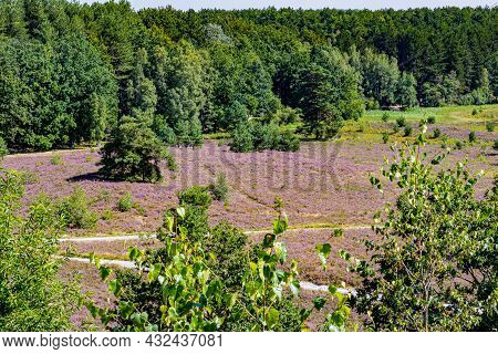 Dutch Countryside With Purple Flowered Heather With Green Trees And Pine Trees In The Background, Su