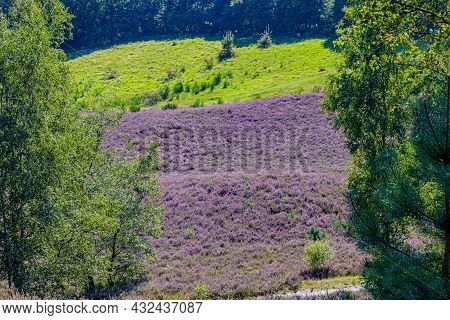 Heather With Purple Flowers In The Dutch Countryside With Green Wild Grass And Trees In The Backgrou