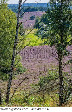 Bare Tree And A Pine With Dutch Countryside With Heather With Purple Flowers In The Background, Sunn