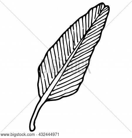 Vector Isolated Tropical Leaf. A Long-shaped Palm Leaf With Veins On A Thick Stem Drawn By Hand In T