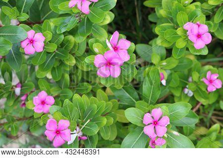 Cayenne Jasmine Pink Flora In The Garden