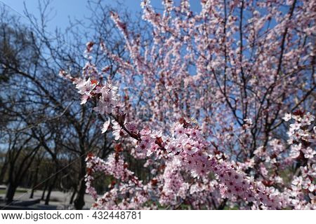 Blossoming Branches Of Purple Leaved Prunus Pissardii In April