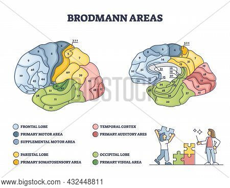 Brodmann Areas Map As Anatomical Brain Region Zones Of Cerebral Cortex Outline Diagram. Labeled Educ
