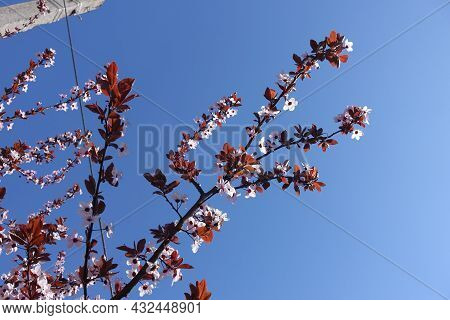 Blue Sky And Branch Of Blossoming Purple Leaved Prunus Pissardii In April