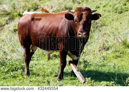 Bull Grazes On A Field With Green Grass.