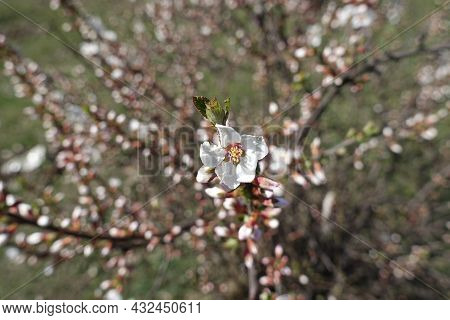 A Flower And Numerous Buds Of Prunus Tomentosa In March
