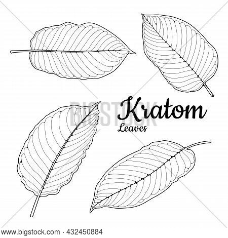 Mitragyna Speciosa Or Kratom Leaves On A White Background, And Helps Balance Hormones In The Body. G